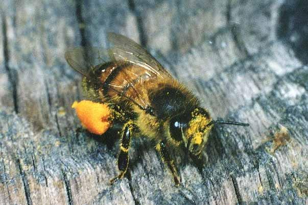 Image of a honeybee on a tree